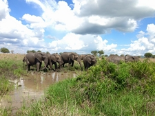 Elephants Drinking Water - Mikumi National Park