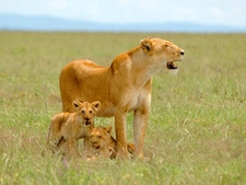 Lioness Mother With Cubs - Serengeti National Park