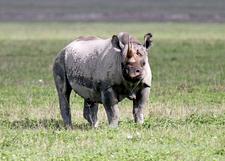 Black Rhino1