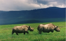 Black Rhinos In Crater Tanzania