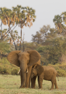 Ellephant And Calf