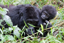 Gorilla 25