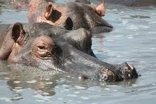 Hippos At Ruaha Park