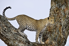 Serengeti Leopard Big 5