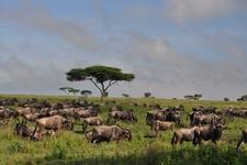 Wildebeests Grazing In Masai Mara