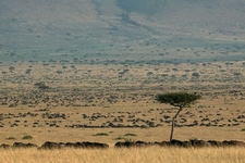 Migration In Masai Mara