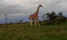 The Graceful Giraffe