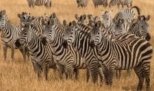 East Africa Zebras