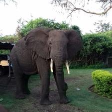 Mweya Resident Elephane Bulll