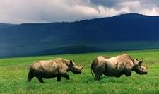 Ngorongoro Black Rhino