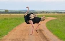 Ostrich The Ever Graceful Ostrich Crossings In The Mara Triangle