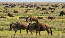 Serengeti Wildebeest Grazing