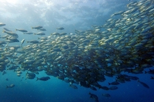Schooling Fish On Every Dive Site