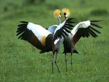 Crowned Cranes In Full Splendor