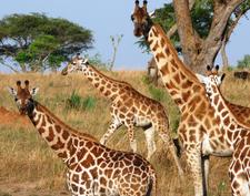 Giraffe Murchison 2