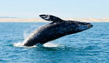 Gray Whale Breaching Mexican Riviera Azamara Club Cruises