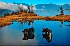 Yaks Lakes Of Tawang