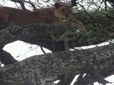 Tree Climbing Lion In Lake Manyara National Park