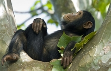 Nyungwe Forest Chimp Rwanda
