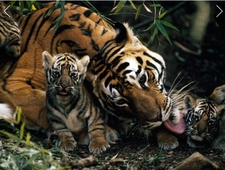 Riger Mother And Cub