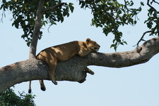 Tree Climbing Lion5