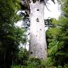 The Giant Kauri Tree