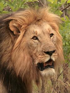 Lion In Welgevonden, South Africa