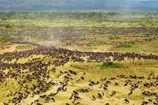 100921 Serengeti Hmed 1a Grid 10x2