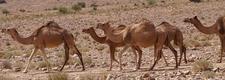 Camel Line 2