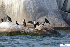 Great Cormorant 1