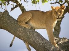 Lion In Manyara