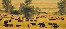 Buffalos Grazing At Kidepo Valley National Park