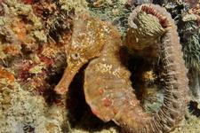 Common Seahorse 3