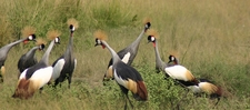 Crested Cranes At Murchison Falls National Park