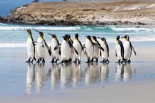 King Penguins On Volunteer Point Beach 6 Enhanced