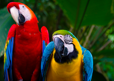 Macaws Iquitos Amazon