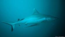 Maldives 2014 Cpr 108 2 Miyaru Kandu Sharks