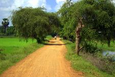 Rice Field Trees