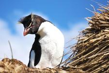 Rockhopper Penguin At Cape Bougainville