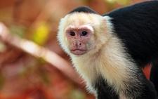 White Faced Monkey Nicaragua