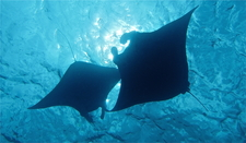 Manta Rays Are Visiting A Dive Site Nearby Zen Dive Bali