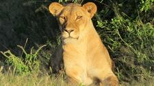 Lion, Hwange National Park
