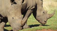 White Rhino, Kwazulu Natal