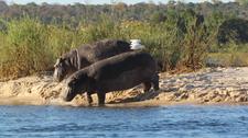 Hippo, Zambezi River