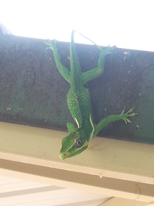 Anole On The Roof