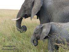 Elephant 1 Copy