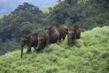 Elephants At Periyar 270