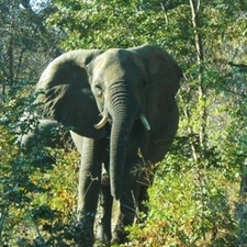 Elephant In Hwange