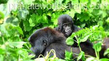 Mt Gorilla Pws