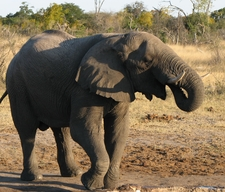 Elephant While On Safari